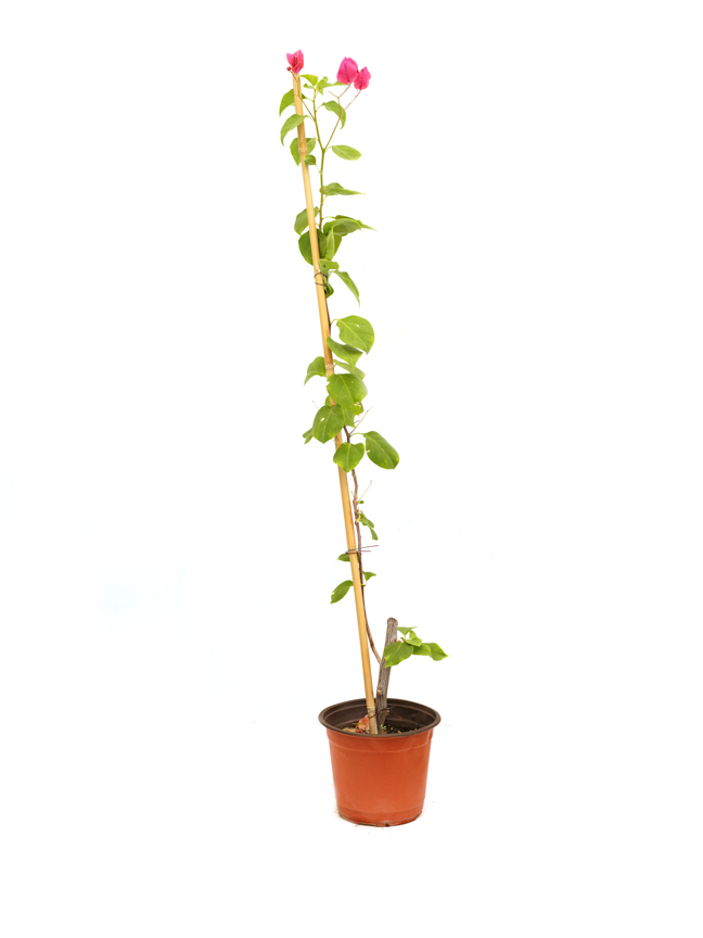 مجنونة عادية نباتات خارجية