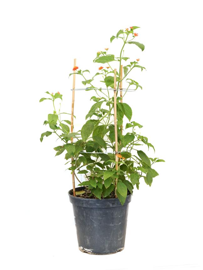 لانتانا ورد ملون 'نباتات خارجية'