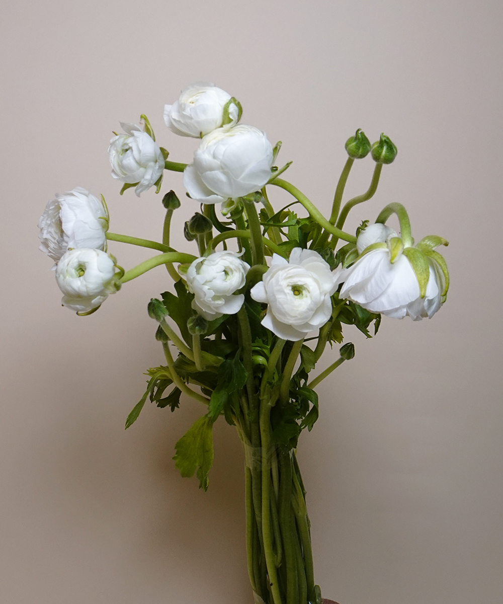 Ranunculus - White Wholesale Flowers