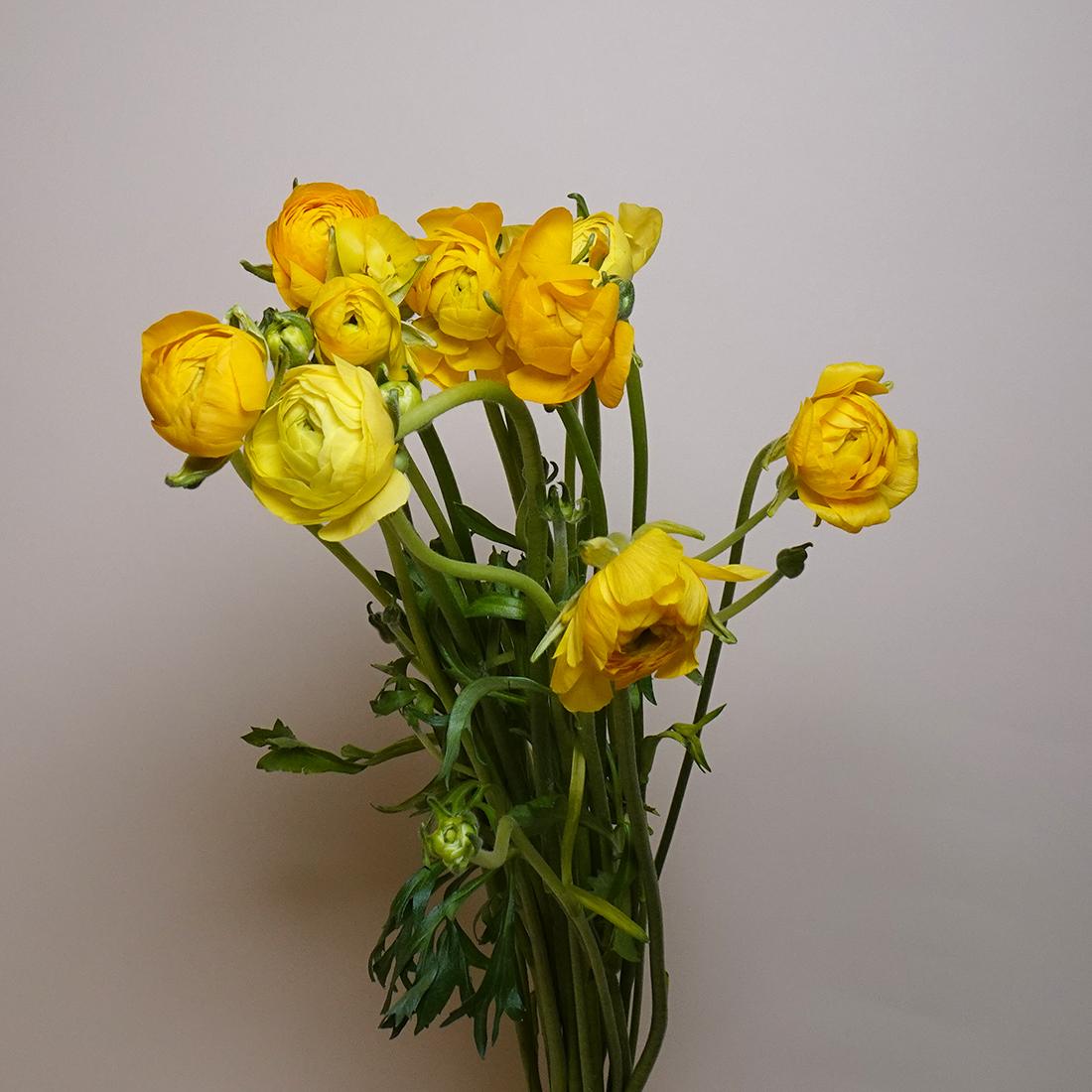 Ranunculus - Yellow Wholesale Flowers