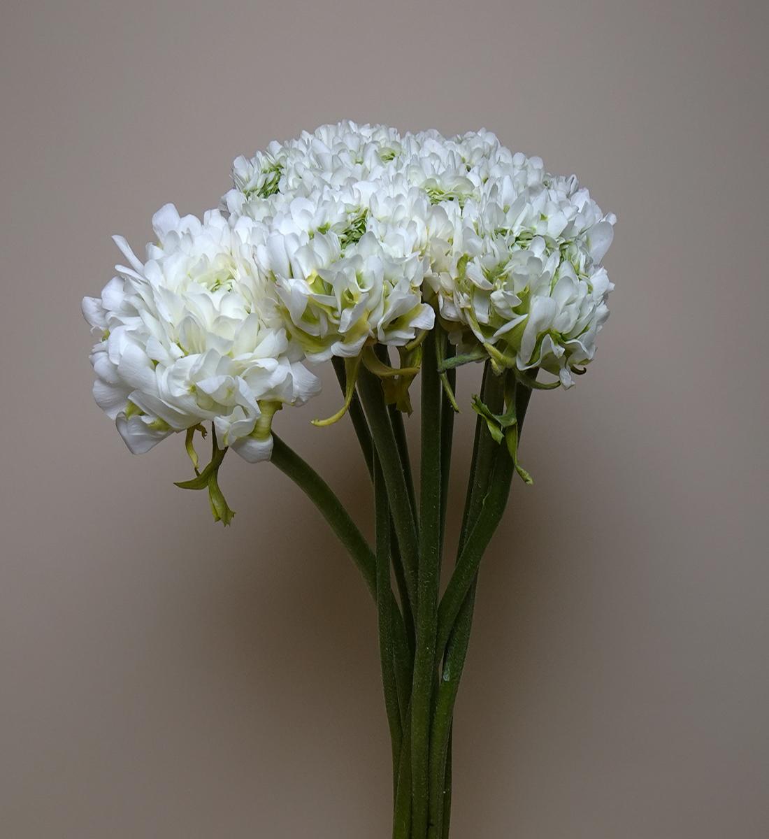 Ranunculus - White & Green Wholesale Flowers