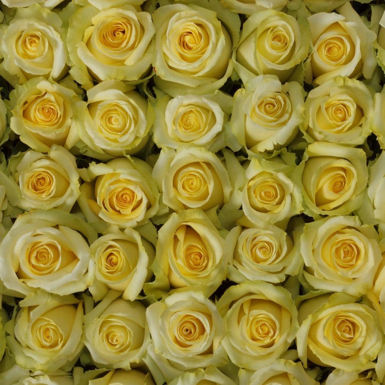 زهور (أصفر غامق)  الزهور بالجملة
