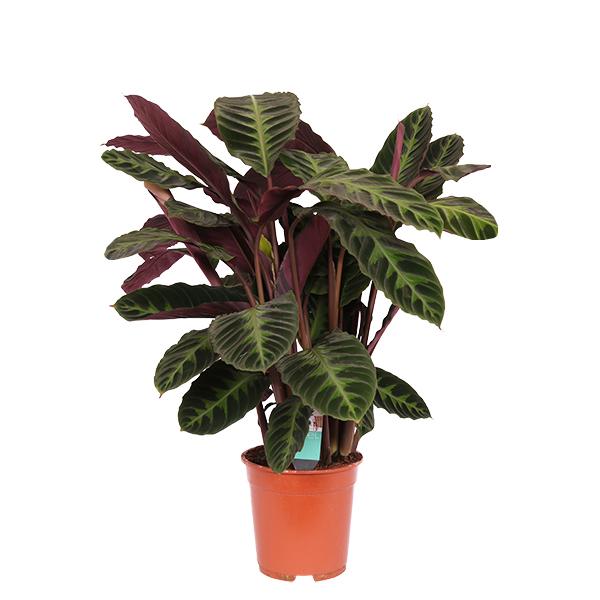 Calathea Warscewiczil (Shadow Plant) Indoor Plants