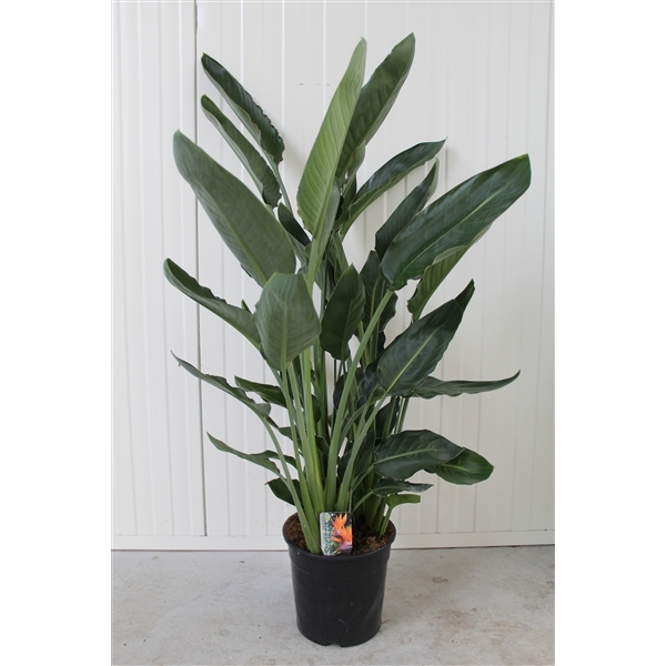 Strelitzia Reginae Indoor Plants