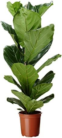 Ficus Lyrata Indoor Plants