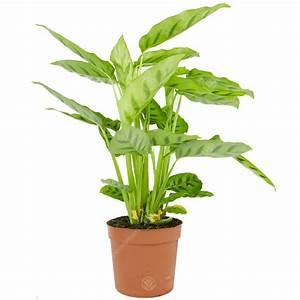 كالاثيا ليوباردينا 'نباتات داخلية'
