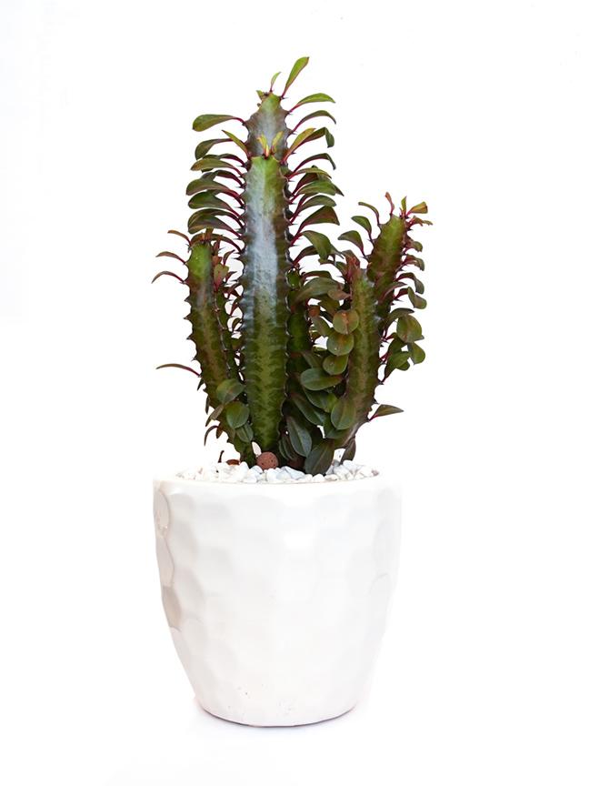 euphorbia pinky Premium Collection