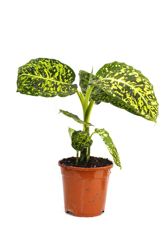 ديفنباخيا المريخ 'نباتات داخلية'