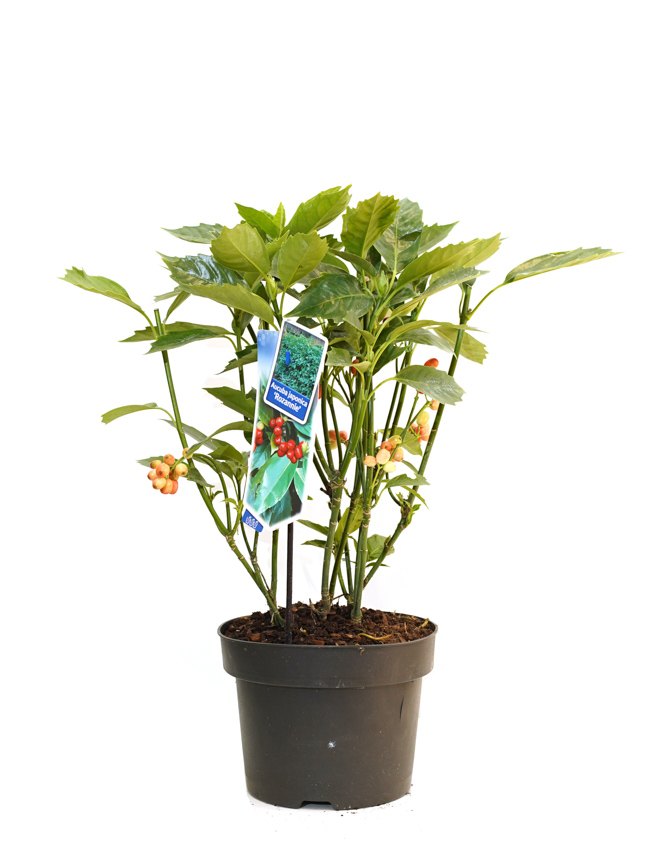Aucuba Japonica Rozannie 'نباتات داخلية'