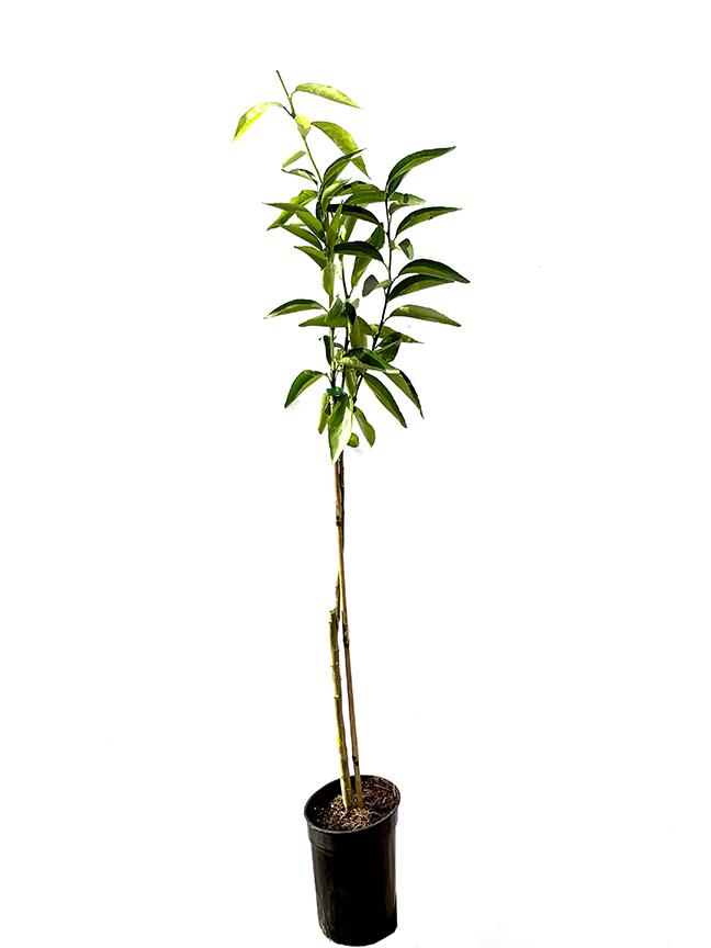 Mandarin (SPAIN) Outdoor Plants