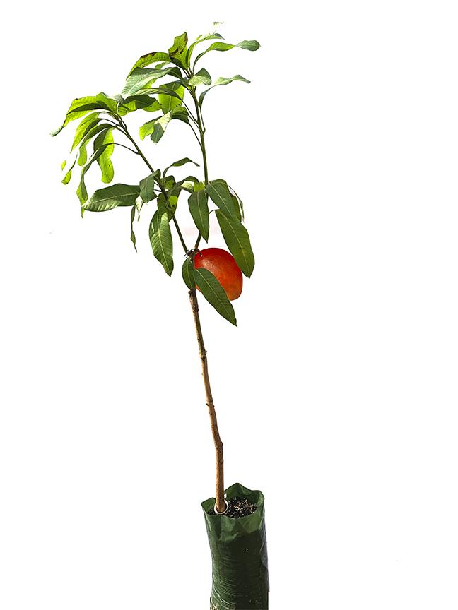 شجر المانجو إسبانيا نباتات خارجية