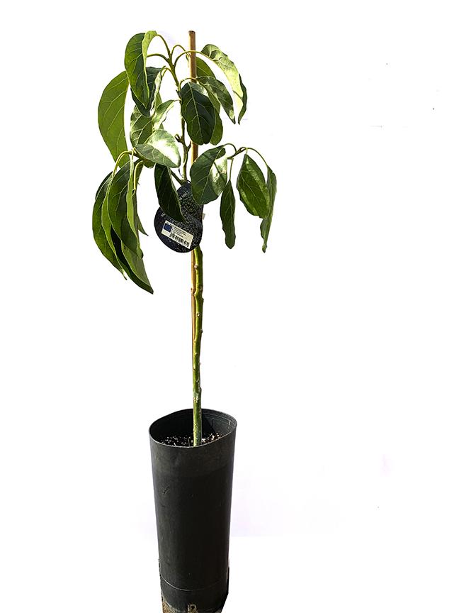 Avocado  (SPAIN) Outdoor Plants