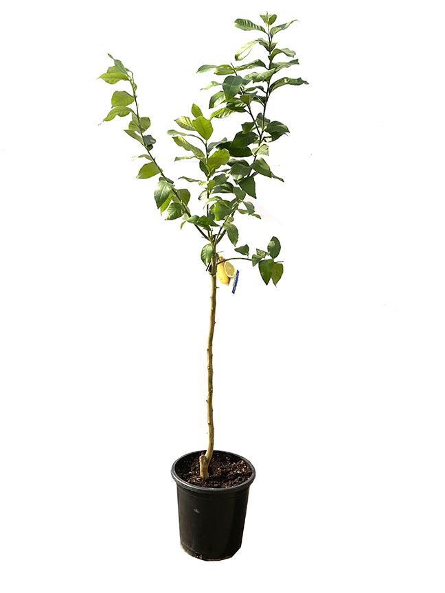 Citrus Lemon  (SPAIN) Outdoor Plants