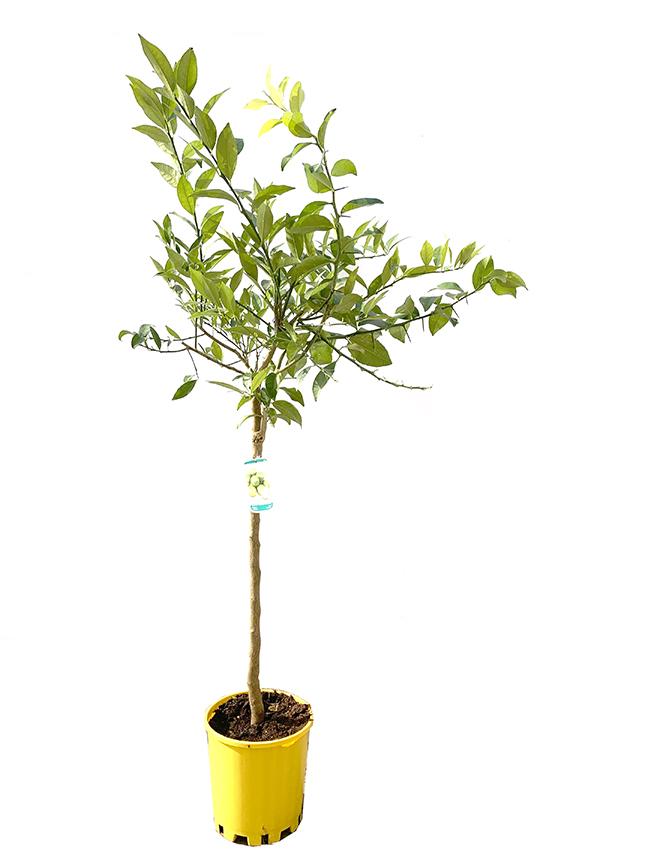 Citrus Aurantifolia  (SPAIN) Outdoor Plants