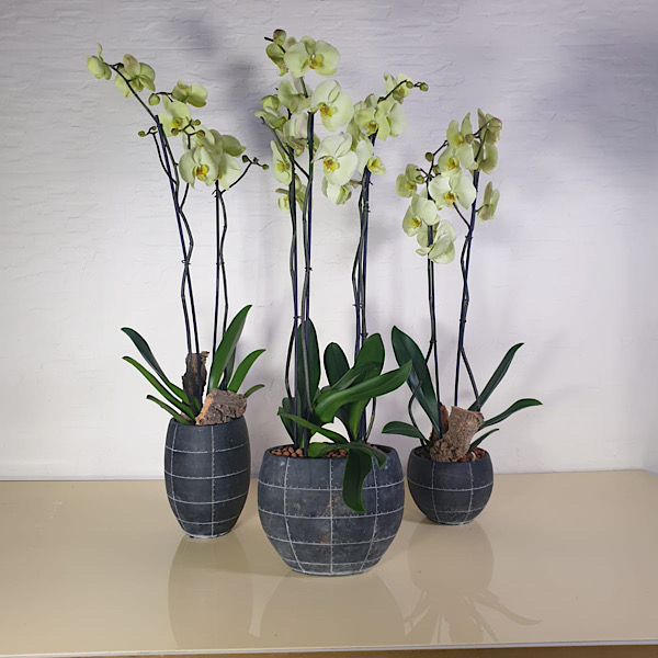 Trio vase with green orchids Premium Collection