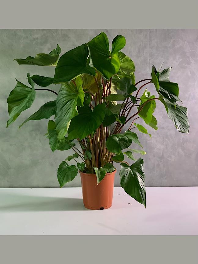 هومالومينا ماجي 'نباتات داخلية'