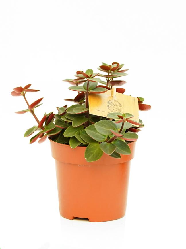 peperomia verticillata  Indoor Plants