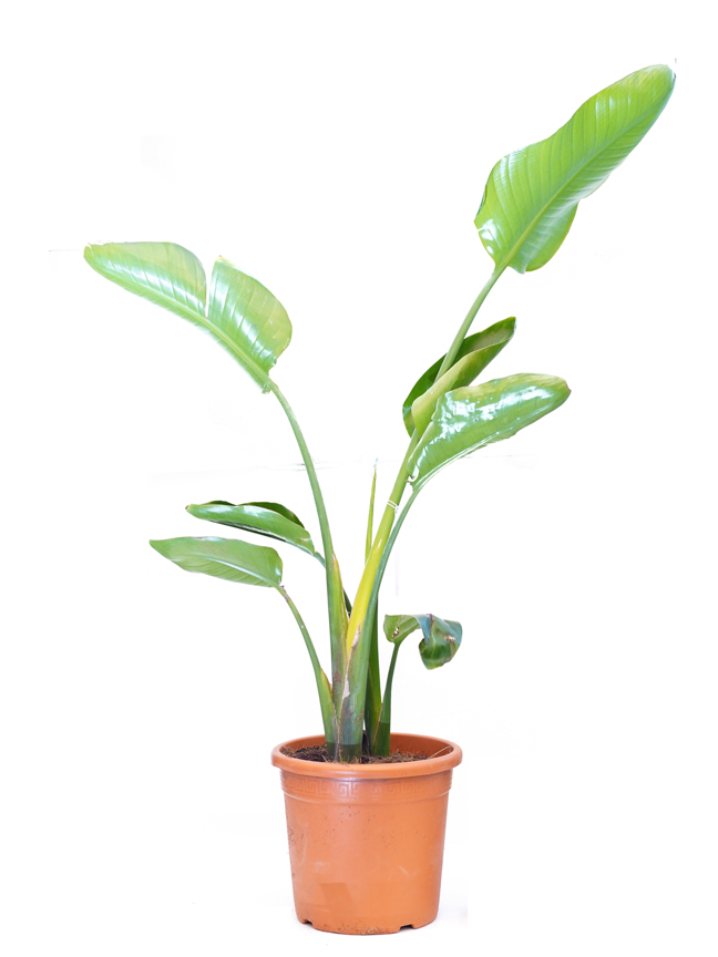Strelitzia Nicolai Double Stem  Indoor Plants