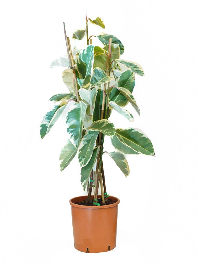 Ficus Robusta Tineke 3pp Indoor Plants