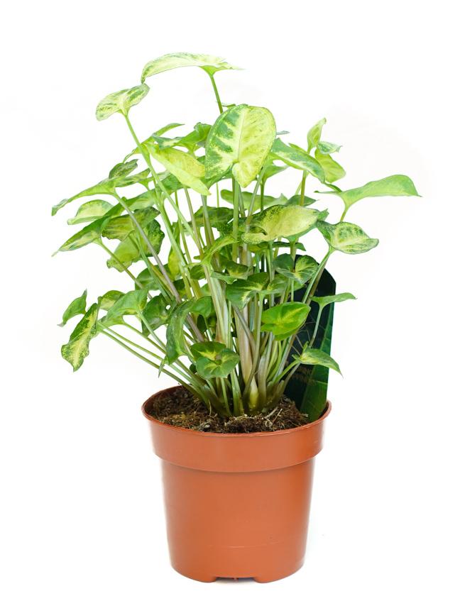 مصنع رأس السهم 'نباتات داخلية'