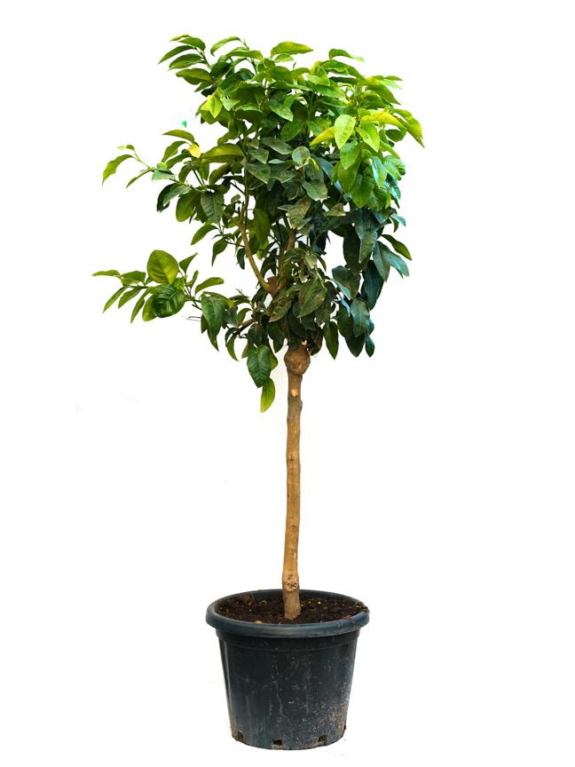 Citrus Bergamia 'Outdoor Plants'