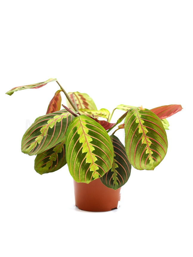 Maranta 'Indoor Plants'
