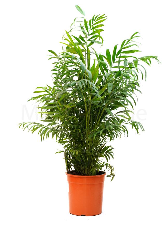 شاميدوريا إليجانس 'نباتات داخلية'
