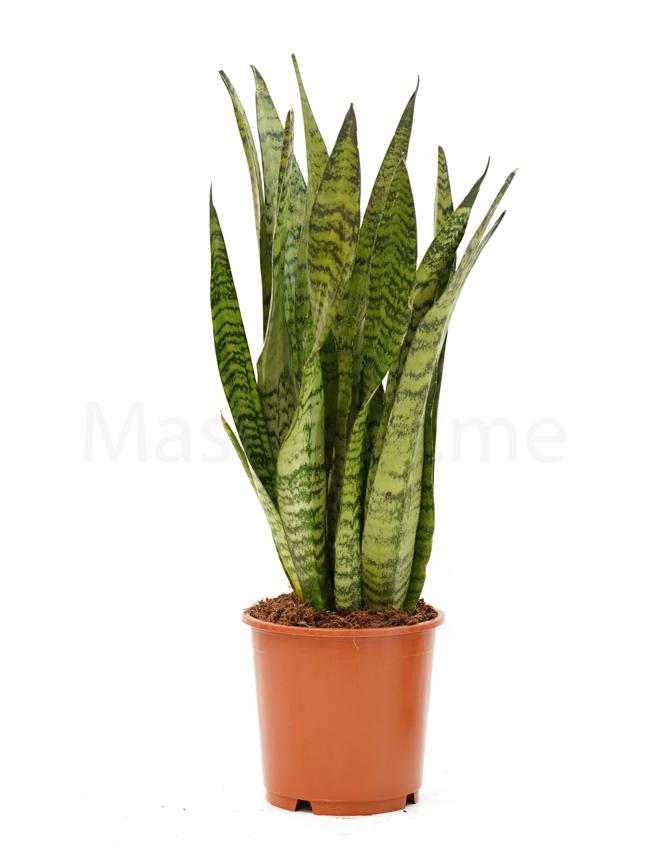 سانسيفيريا ترايفاشيا الإخضر 'نباتات داخلية'