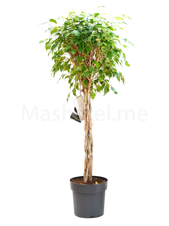 Ficus Benjamina Braid Indoor Plants