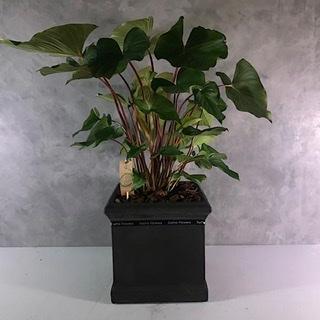 Homalomena 30x30 Indoor Plants