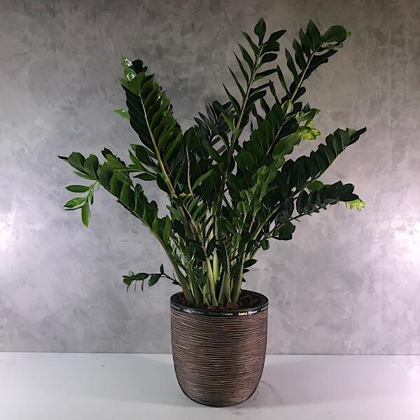 Zamioculcas - xXL Office Plants