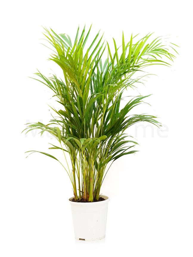 Areca Palm GREY Pot 'Indoor Plants'
