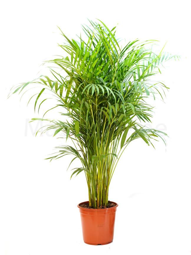 أريكا بالم نباتات داخلية