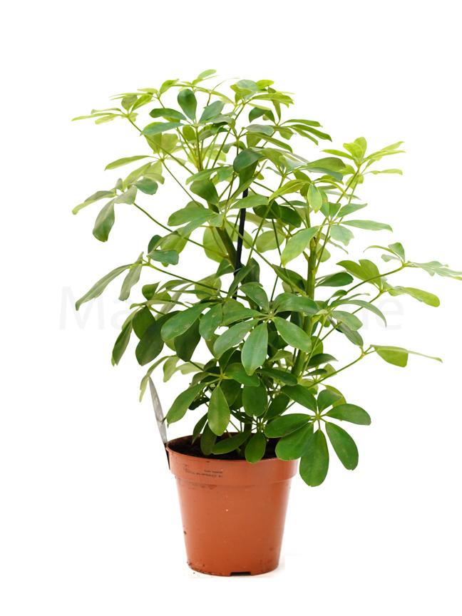 Schefflera small Indoor Plants