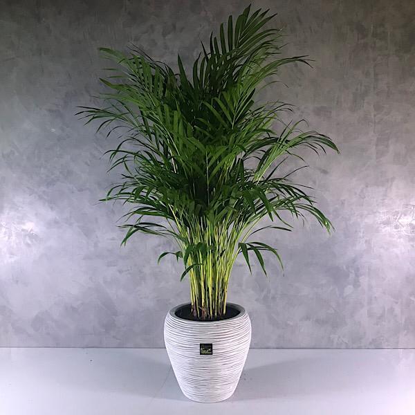 Dypsis 100 Indoor Plants