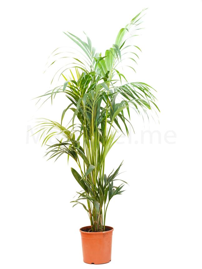 Kentia 'Indoor Plants'
