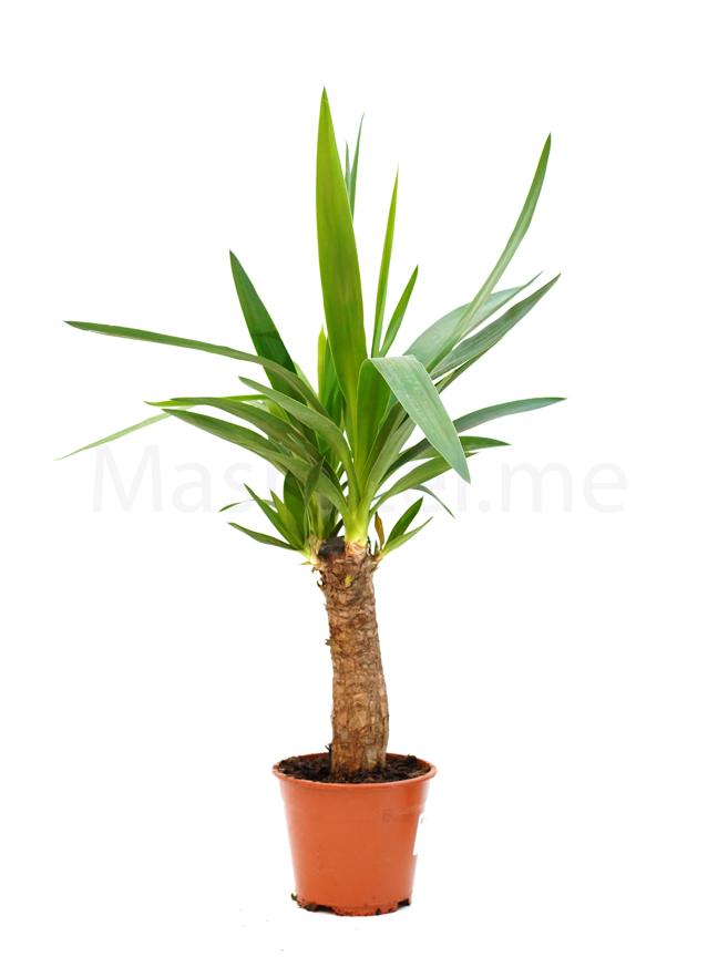 يوكا 'نباتات داخلية'