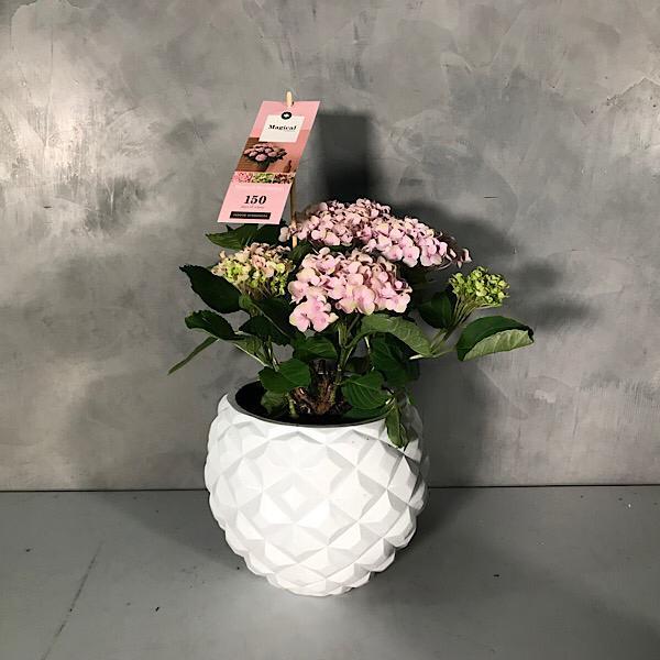 Hydrangea - pink Premium Collection