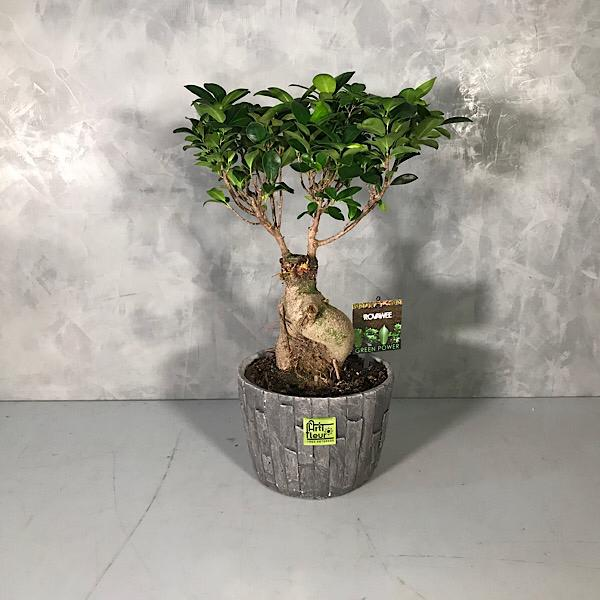 Lucky ficus ginseng bonsai Premium Collection Indoor Plants