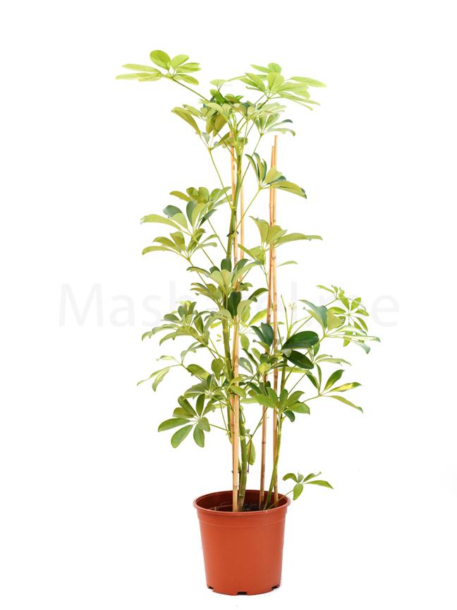 Schefflera 'Indoor Plants'