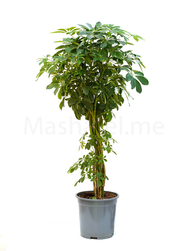 schefflera twisted plant  Indoor Plants