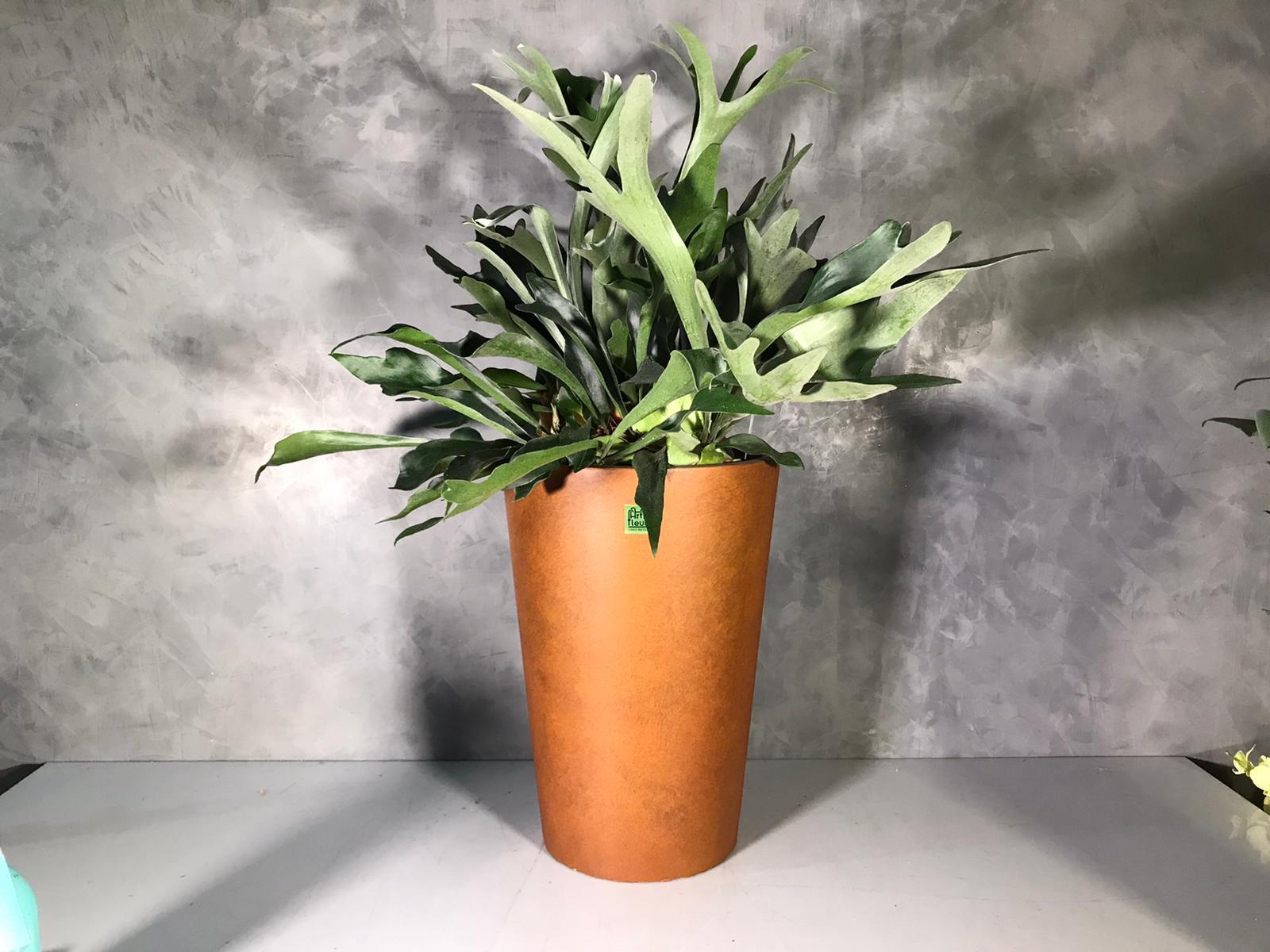 Platycerium  bifurcatum Premium Collection