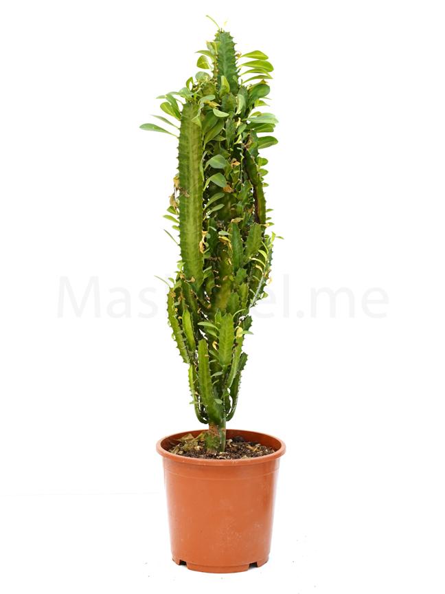 Euphorbia Trigona Indoor Plants