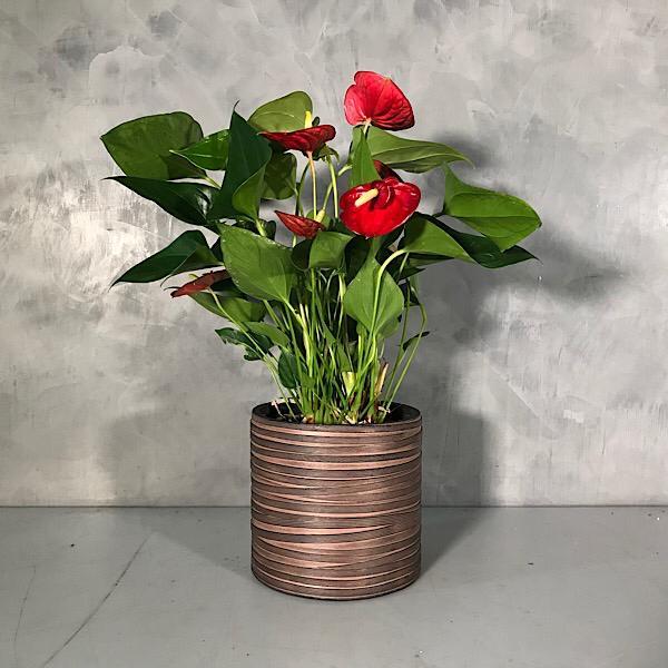 Anthurium scherzerianum - red Premium Collection