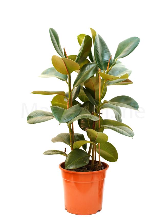 فيكس مطاط نباتات داخلية