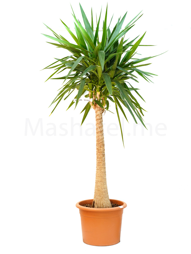 yucca large Outdoor Plants