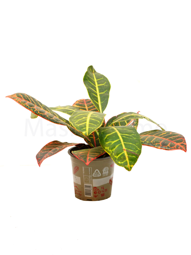 كروتون صغير 'نباتات داخلية'