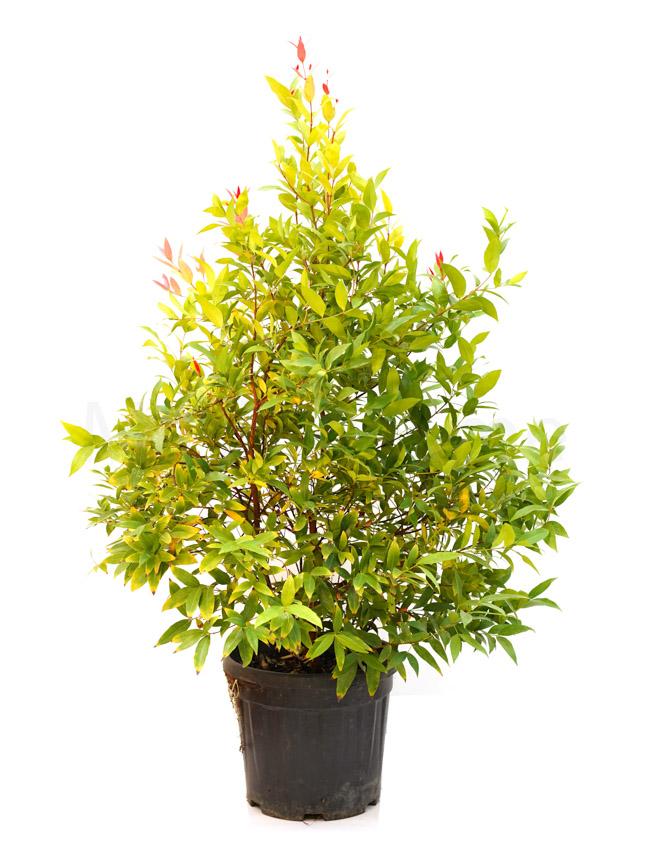 Eugenia Plant Outdoor Plants