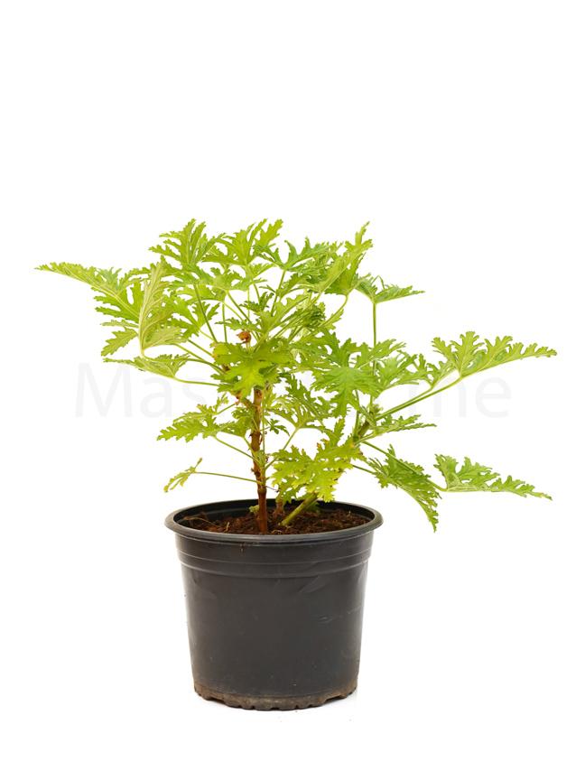 Pelargonium Citrosum Outdoor Plants