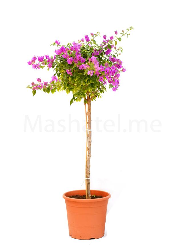 مجنونه متسلقه نباتات خارجية